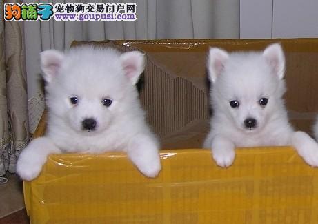 重庆家养3个多月纯种银狐宝宝出售