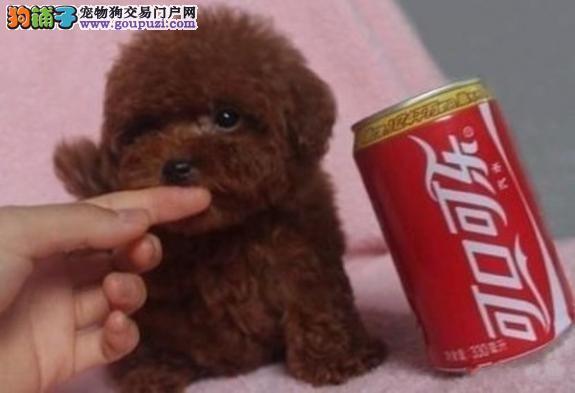 直销纯种玩具泰迪熊犬茶杯全泰迪熊犬铜川狗场出售