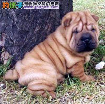 上海犬舍低价热销 沙皮狗血统纯正送用品送狗粮