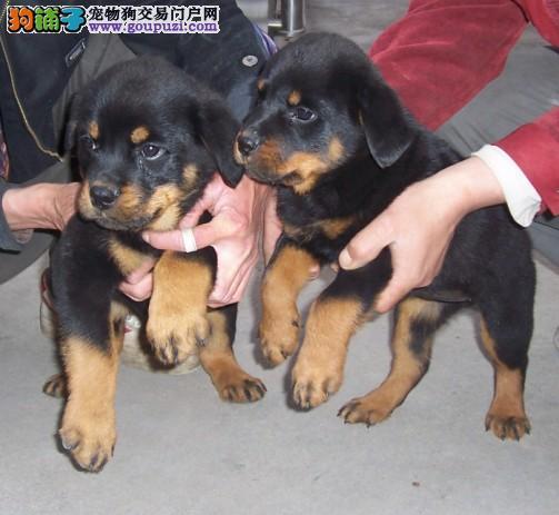 南宁什么地方有卖罗威纳南宁罗威纳幼犬怎么卖