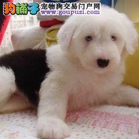 出售极品古牧幼犬 CKU认证犬舍欢迎前来挑选
