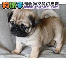 宠物狗狗 2个月可爱小巴哥 一窝 可见妈妈