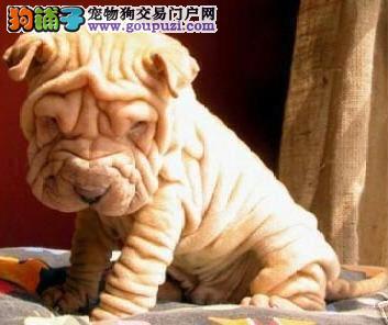 赛级高品质沙皮犬 价格公道 合同质保 假一罚十
