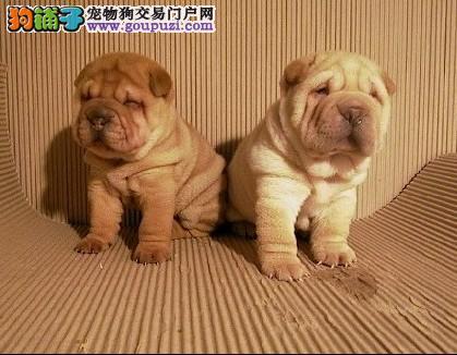 沙皮贵不贵南京哪里卖的沙皮狗狗最便宜多少钱