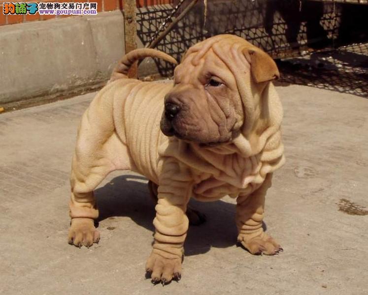 纯种沙皮狗大沥犬中型守卫犬幼犬活体憨厚可爱