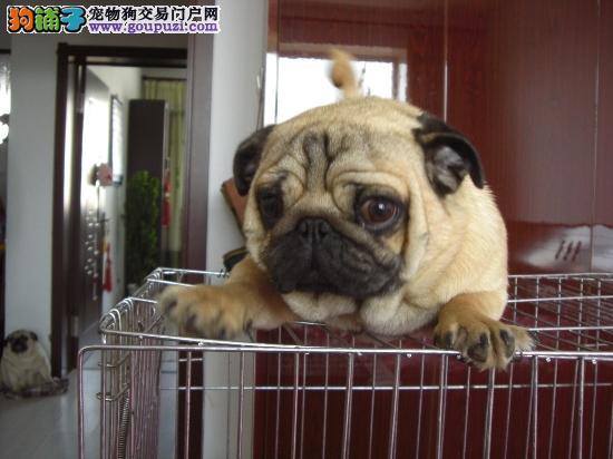 憨憨可爱巴哥幼犬,囧子脸,是您不可或缺的爱宠