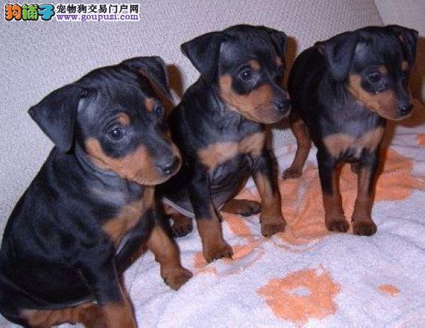 基地直售/杜宾幼犬/签健康质保合同