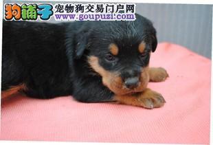 犬舍直销品种纯正健康贵阳罗威纳真实照片视频挑选