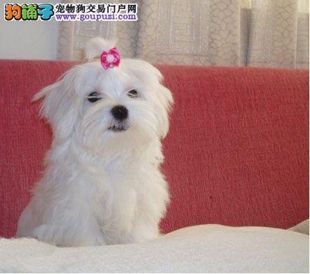 洁白无瑕 高贵可爱 纯种马尔济斯幼犬 终身售后保障