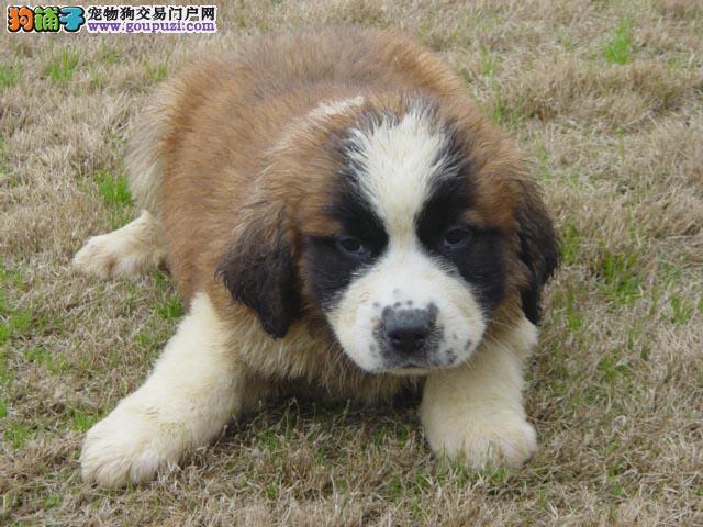 杭州圣伯纳 圣伯纳犬憨厚大型犬圣伯纳