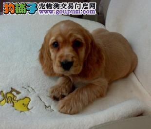 家养可卡幼犬纯种 质量有保证 品相很好 公母都有
