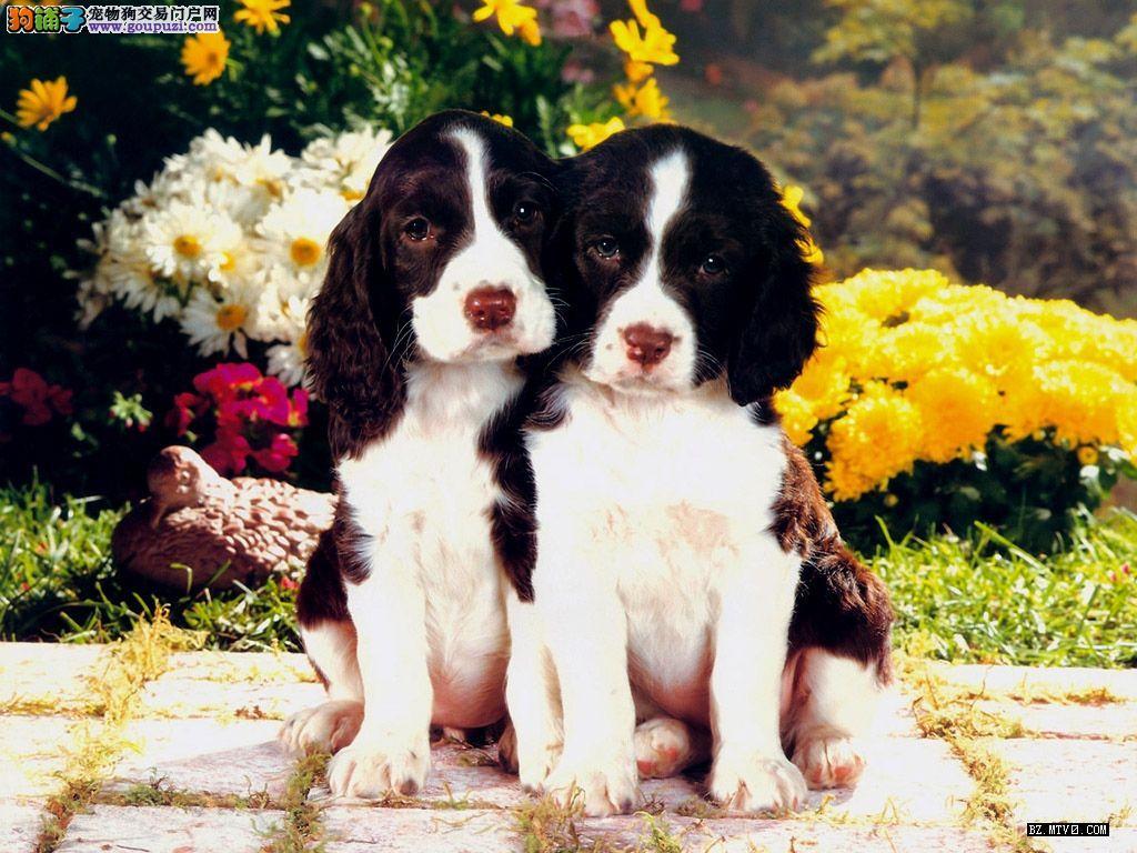 出售高品质英卡幼犬。有保证纯种健康