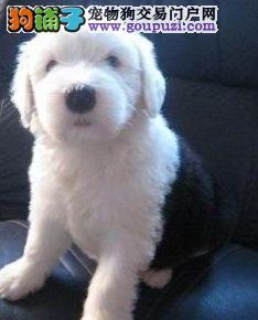 出售纯种白头古牧幼犬宝宝,公母都有
