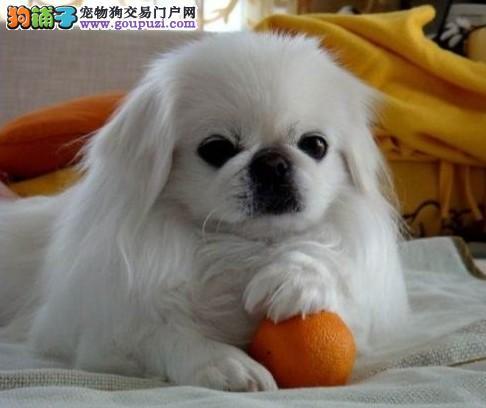 宁波出售自家繁殖纯种京巴.各种名犬.品质好.售后有保