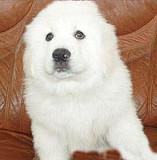 杭州 出售高品质大白熊 驱虫疫苗都已做好包纯种健康