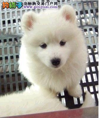 出售日本银狐犬尖嘴,包健康可上门挑选疫苗齐全