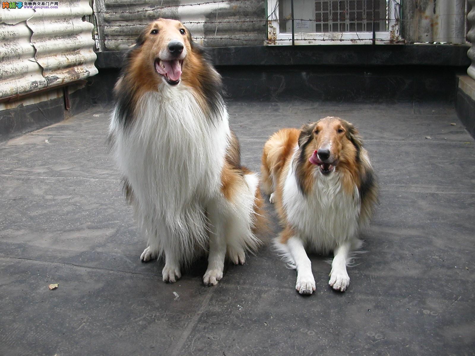深圳出售正宗纯种苏格兰牧羊犬 深圳哪里有卖苏牧犬