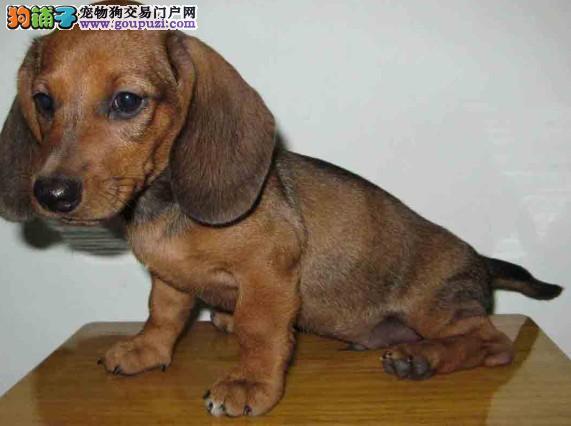 出售繁殖高品质可爱的腊肠幼犬 健康活泼