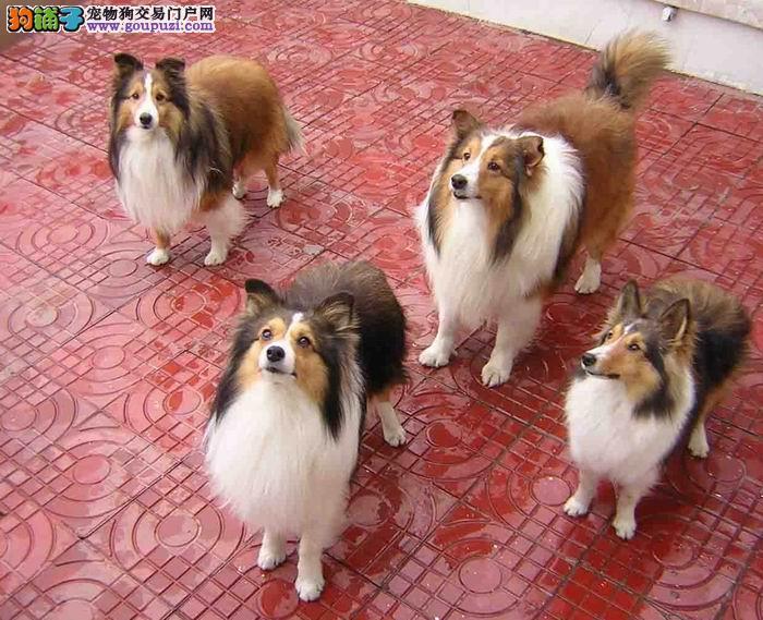 合肥哪有宠物店出售喜乐蒂纯种喜乐蒂幼崽多少钱能买到