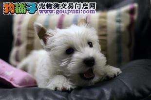 聪明可爱的西高地幼犬出售品相好纯种健康签订协