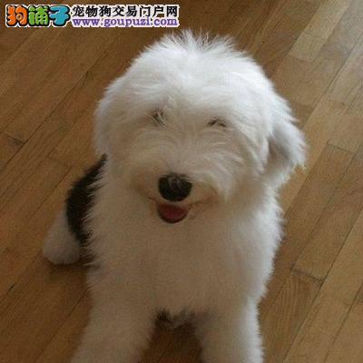 健康纯种CKU认证古代牧羊犬幼犬 出售中