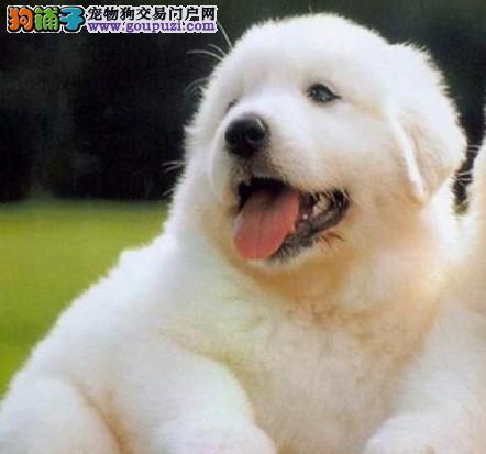 多只纯种健康大白熊犬,公母均有,品质顶级