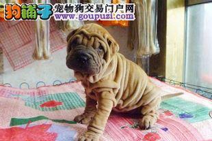 专业繁殖 出售 血统纯保健康沙皮幼犬