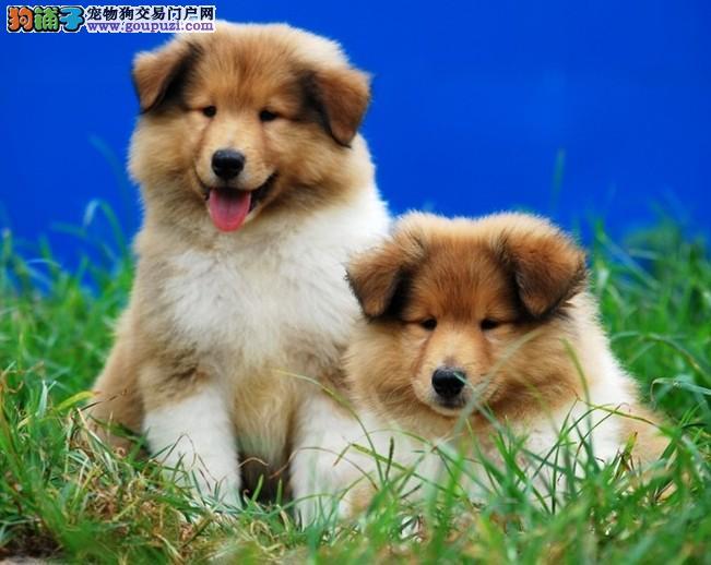 犬舍直销血统纯正苏牧宝宝——CKU认证犬业。