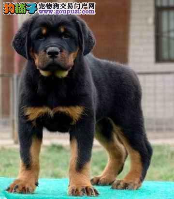出售罗威纳幼犬 高大凶猛 看家护院好帮手