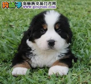 CKU认证犬舍出售高品质伯恩山全国当天发货