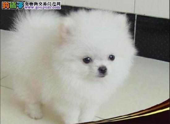 日本尖嘴银狐纯种幼崽待售中[三个月公母全有]