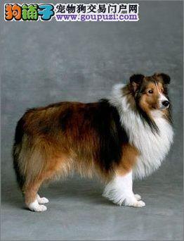 广州哪里有卖纯种喜乐蒂牧羊犬 喜乐蒂价格 牧羊犬