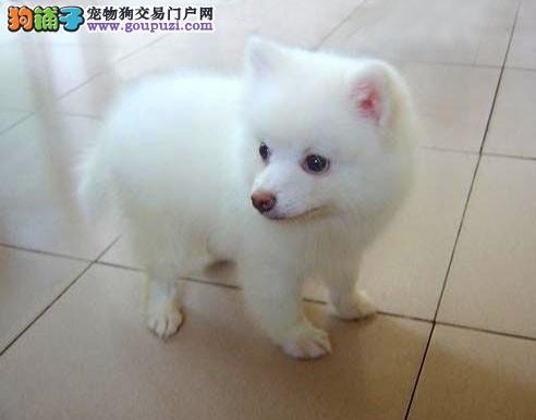 AKC官方认证犬业 高品银狐幼犬,护卫主人伴侣犬.