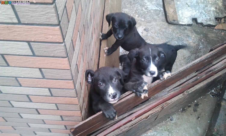 贵阳知名犬舍出售多只赛级比特犬最优秀的售后