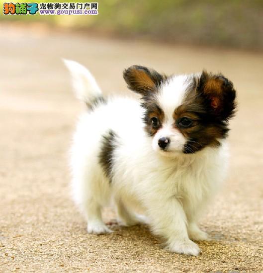 广州狗场出售纯种的蝴蝶犬成犬幼犬公母齐全