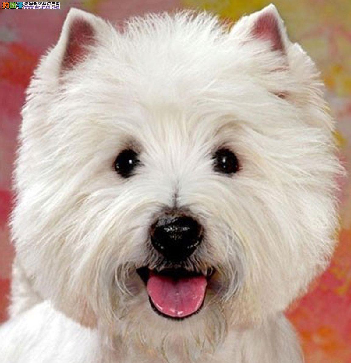 西高地犬 纯种品质 健康第一 三个月幼犬开始出售
