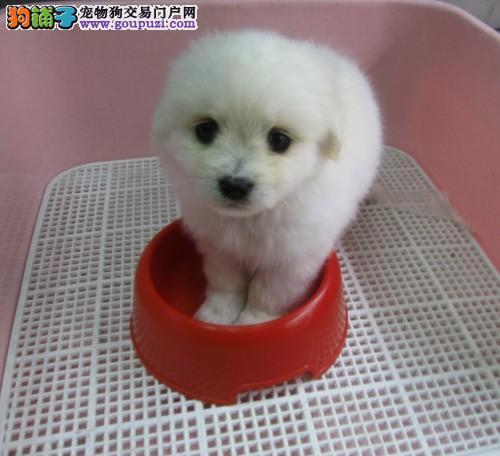 杭州本地哪里有卖纯种健康袖珍杭州的茶杯犬价格怎么样