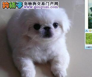 南京出售京巴的在哪里 纯种京巴幼犬多少钱一只