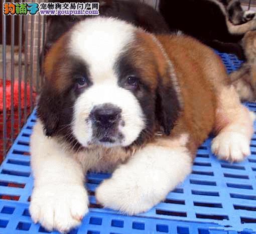 杭州圣伯纳犬多少钱一只 哪里有纯种圣伯纳犬