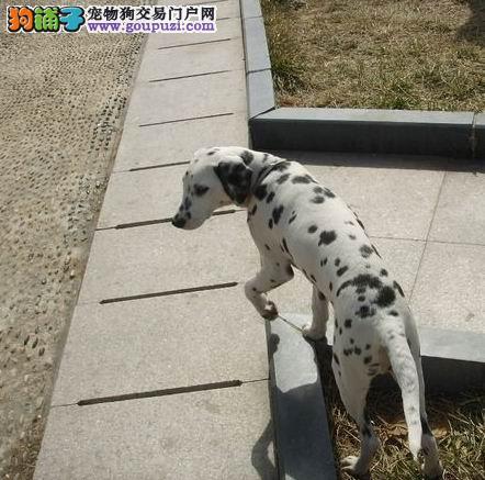 斑点狗石家庄最大的正规犬舍完美售后欢迎实地挑选