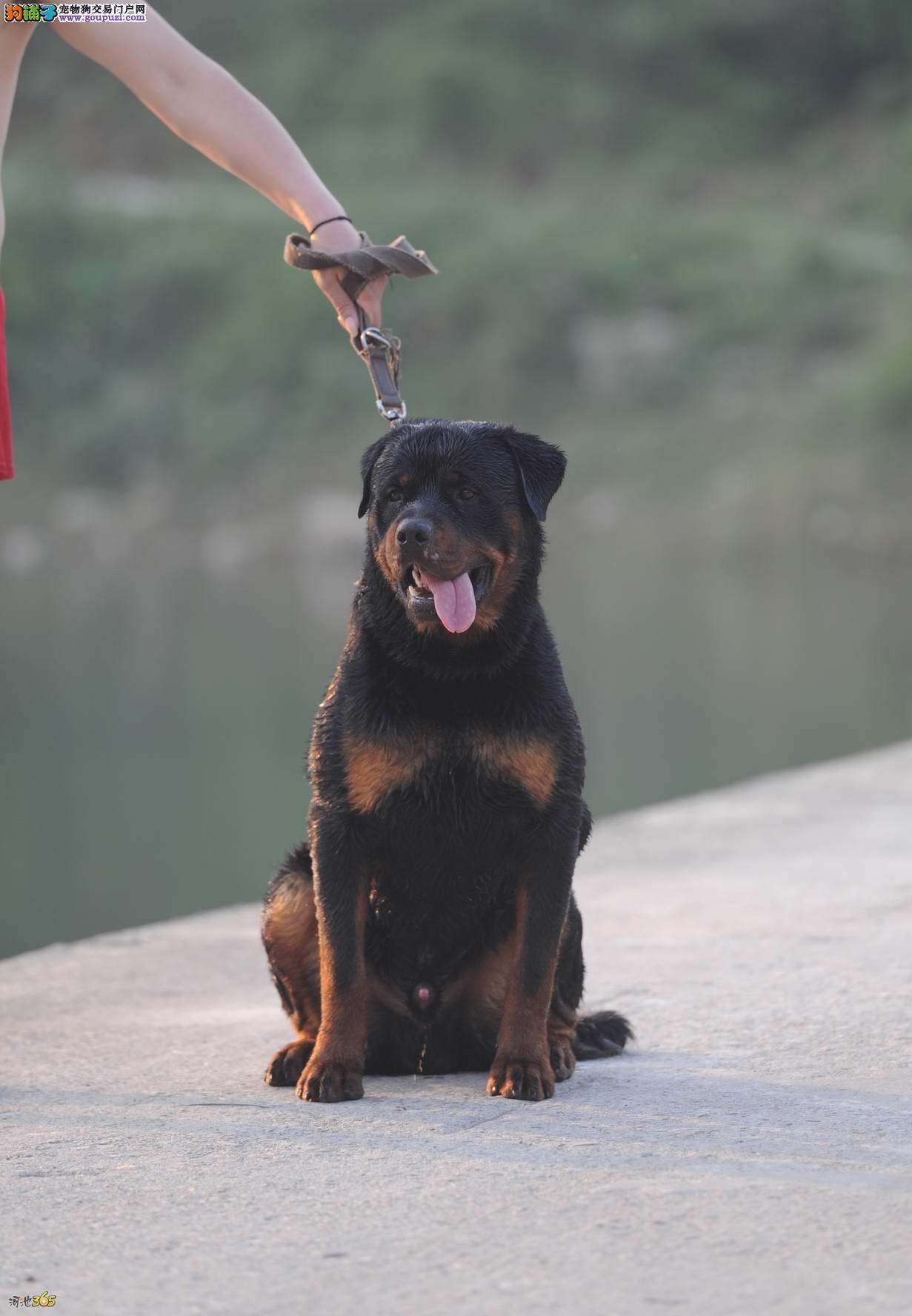 纯种罗威纳犬经典大头健康信誉第一适合选购