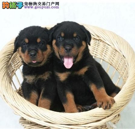 绝对忠诚于主人的罗威纳幼犬正在出售中 可上门看狗