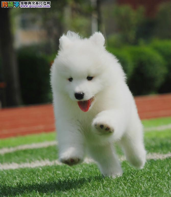 双眼皮品相好 微笑萨摩耶幼犬银川专业狗场火爆出售