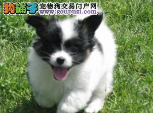 出售活泼机灵蝴蝶犬幼犬 质保协议疫苗驱虫齐全可送货
