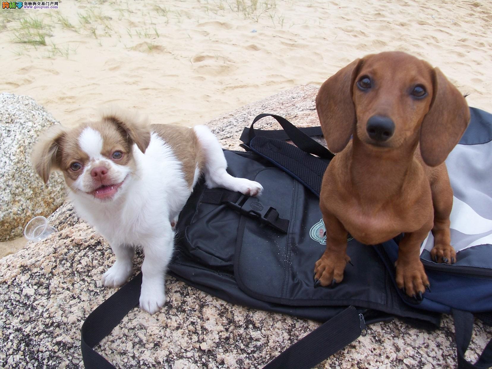 火爆出售血统纯正的济南腊肠犬终身质保终身护养指导