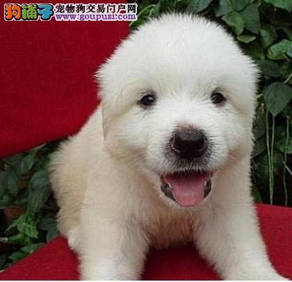 极品、聪明的大白熊在这里、优惠纯种和健康