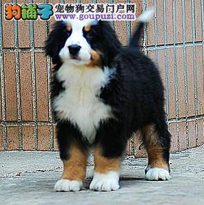 CKU犬舍认证出售高品质伯恩山全国十佳犬舍