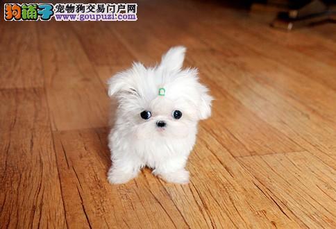 完美品相血统纯正合肥马尔济斯出售微信咨询视频看狗