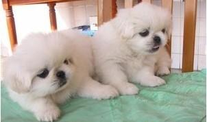 南京哪里有卖京巴犬的 南京有纯种的京巴犬吗