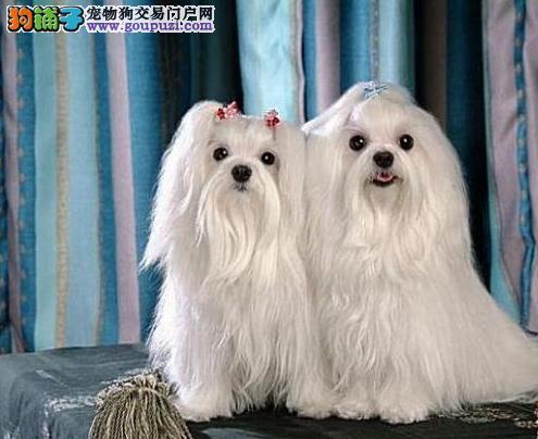 纯种马尔济斯犬 打完疫苗证书齐全 售后签订购犬协议
